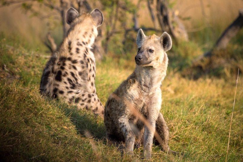 hyena-botswana-afrikalovers