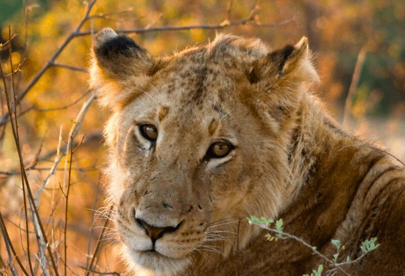 Lion_Female_Kruger_National_Park-jpg--1800×1200--compressor