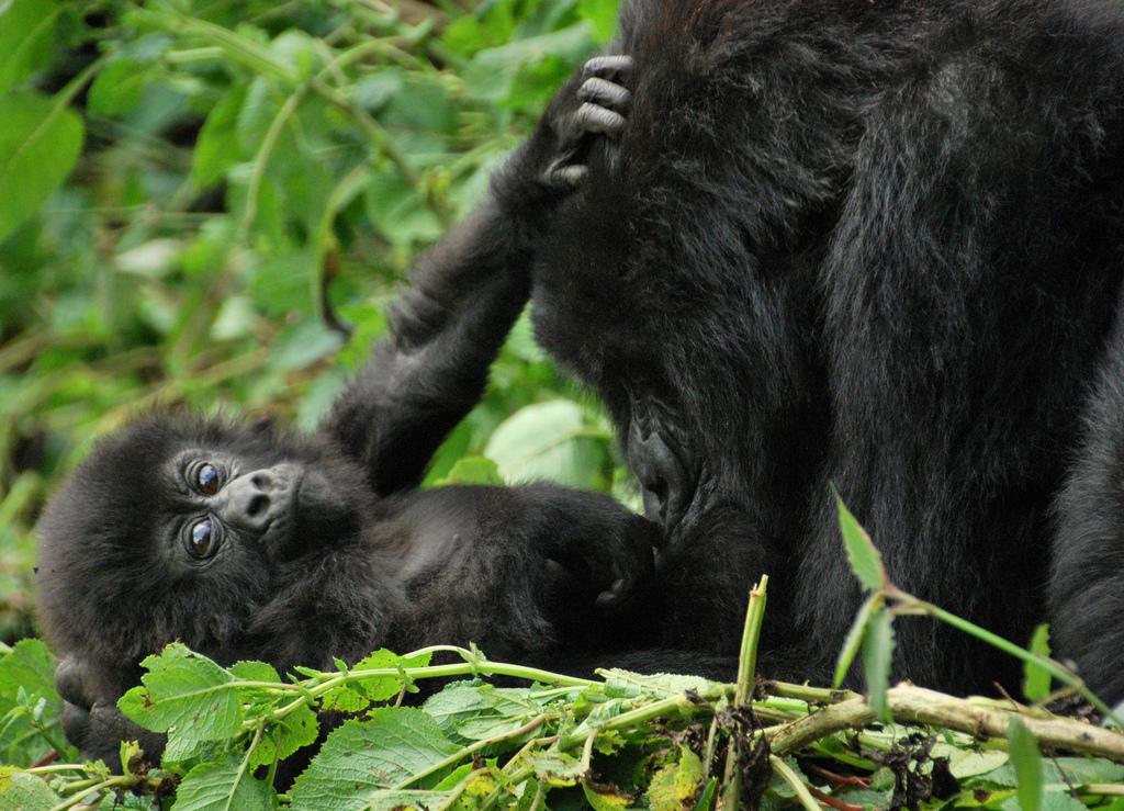Uganda - Berggorillas 12