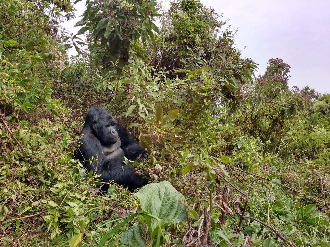 Uganda - Gemeinschaft, Gorillas und Schimpansen 13